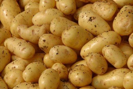 Первый День картофеля