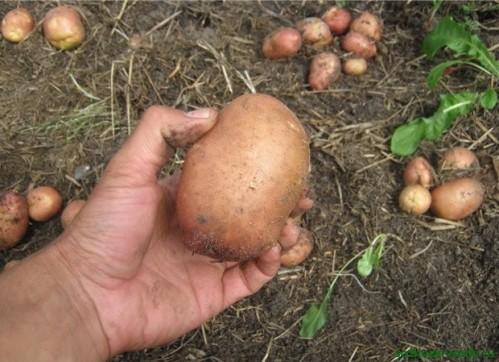 Подзимняя посадка картофеля