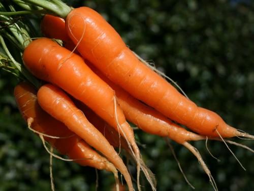 Популярные сорта и гибриды моркови