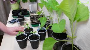 Посев и уход за рассадой баклажана