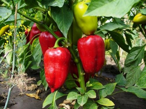 Почва для выращивания перца