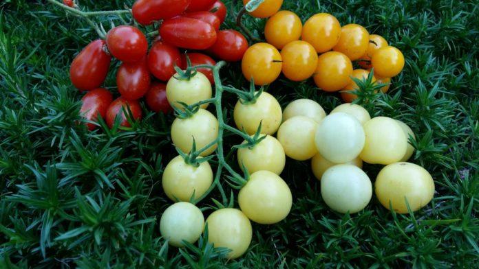Растим томаты в зоне рискованного земледелия