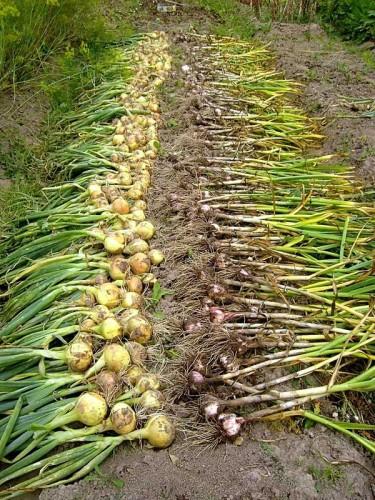 Сбор лука и чеснока