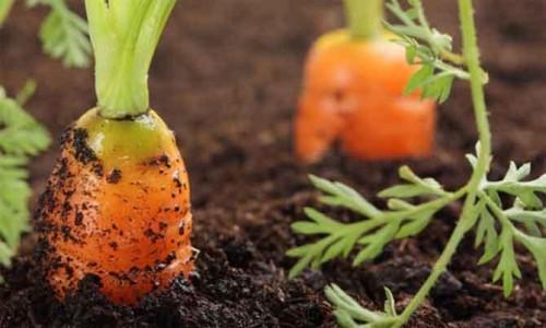 Семенной материал моркови