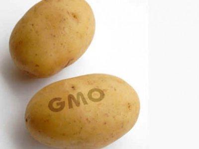 Трансгенный картофель