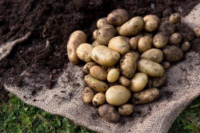 Уборка картофеля. О технологии и не только