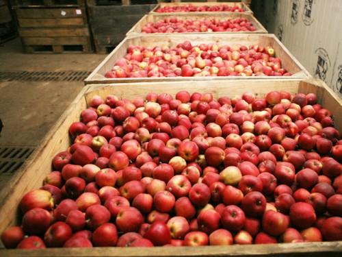 Хранение плодов яблок и груш