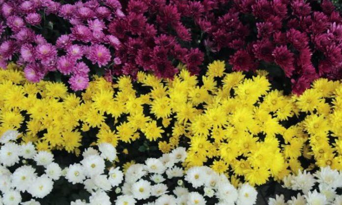 Хризантема овощная (увенчанная)