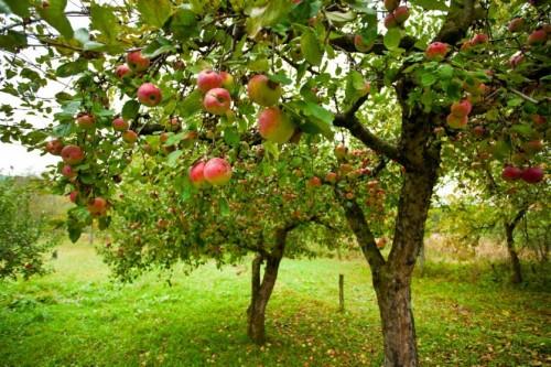 Чего не хватает яблоням и грушам