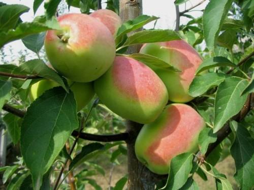 Аборигенные сорта яблони