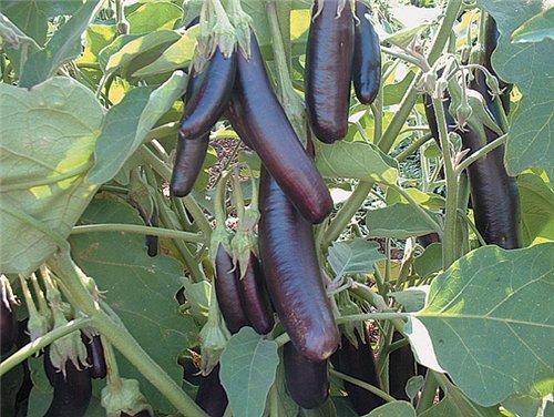 Баклажан – Solanum melongena