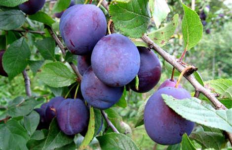 Чем обусловлено преждевременное опадание плодов сливы?