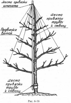 Подвязка веток яблони