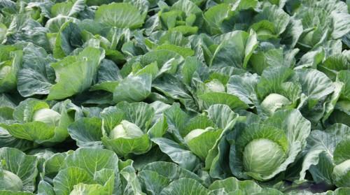 Как вырастить крупную капусту