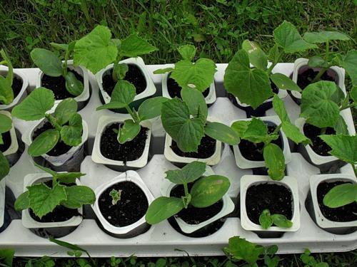 О семенах и рассаде тыквы