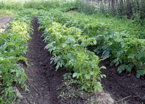 Один сезон — два урожая картофеля