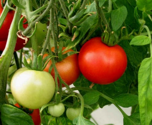Подкормки томатов по графику