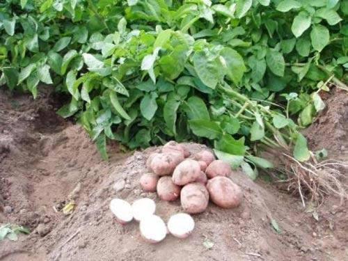 Посадка картофеля для ленивых