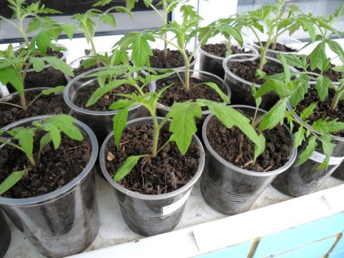 Рассада томатов начинает «взрослую» жизнь