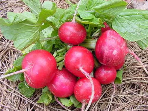 Сбор и хранение урожая редиса