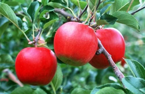 Урожайная яблоня