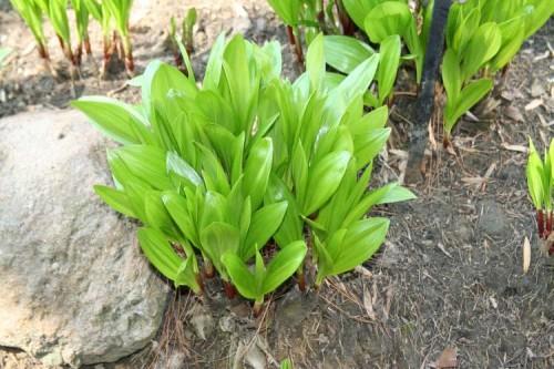 Выращивание черемши