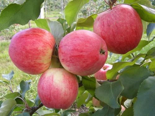 Яблоки – Красивые, вкусные, лежкие