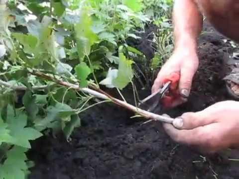 Как я размножаю смородину