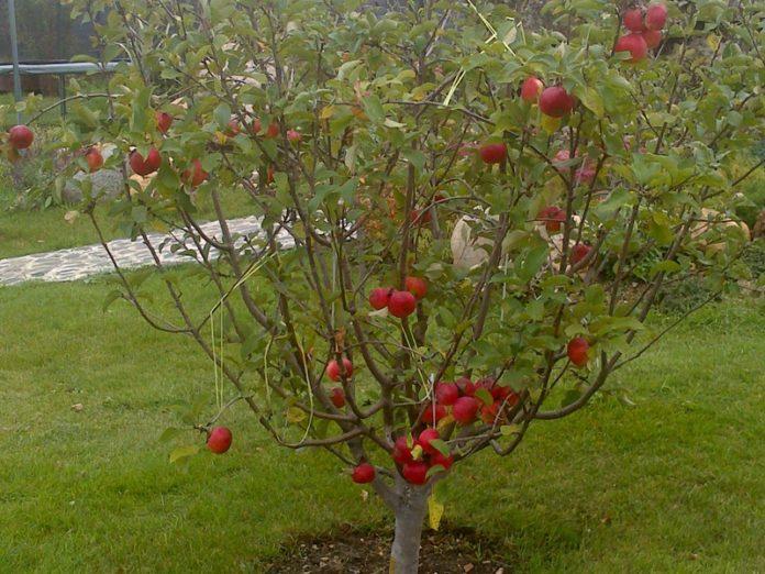 Под яблонями — полевица