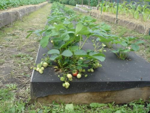 Рассадка взрослых кустов клубники