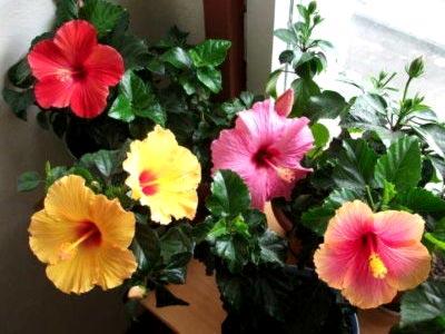Комнатный цветок гибискус, уход и выращивание в домашних условиях