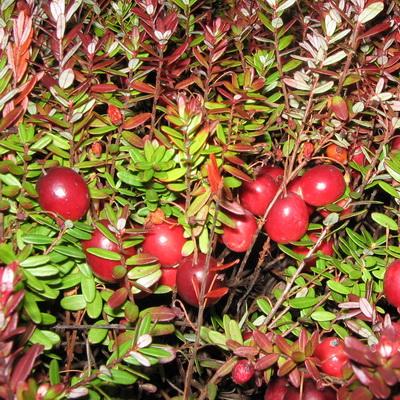 Сортовая крупноплодная клюква почему-то не дает урожая