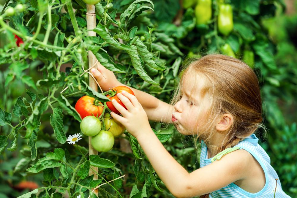 девочка собирает спелые помидоры