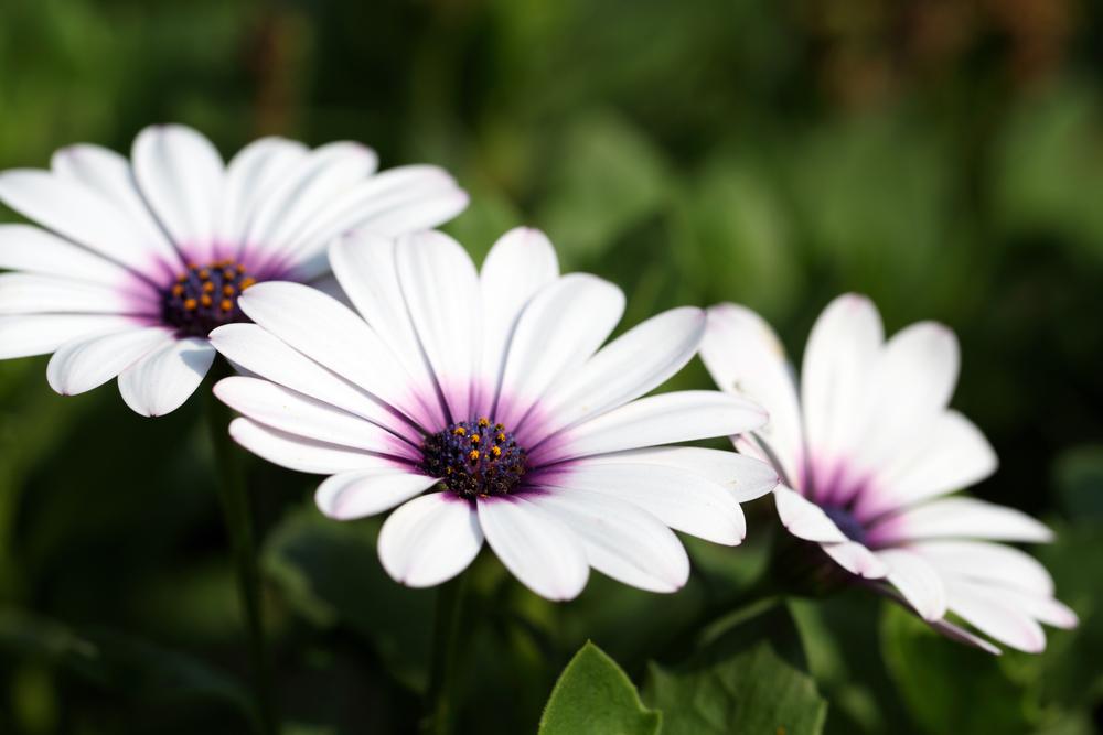 красивые цветы остеоспермум