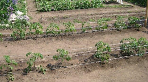 перенос в грунт рассады томатов