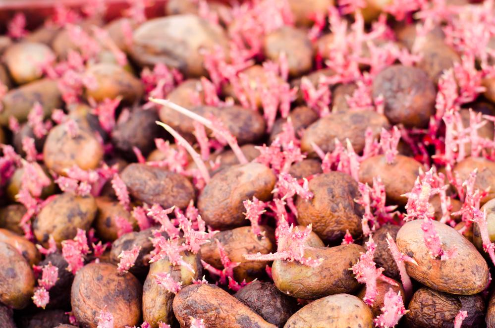 обработанный картофель от колорадского жука