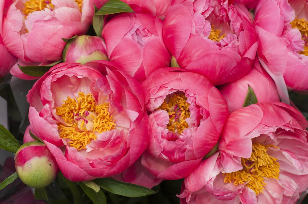 пионы розовые и красные