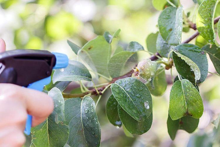 Обработка яблони водкой