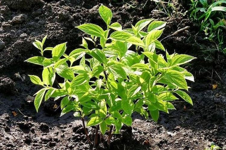 Молодой росток жасмина