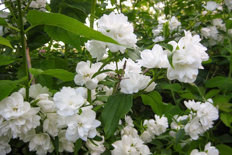 Цветение жасмина
