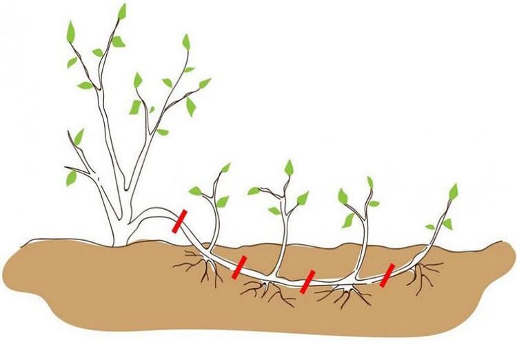 Размножение корневыми отводками