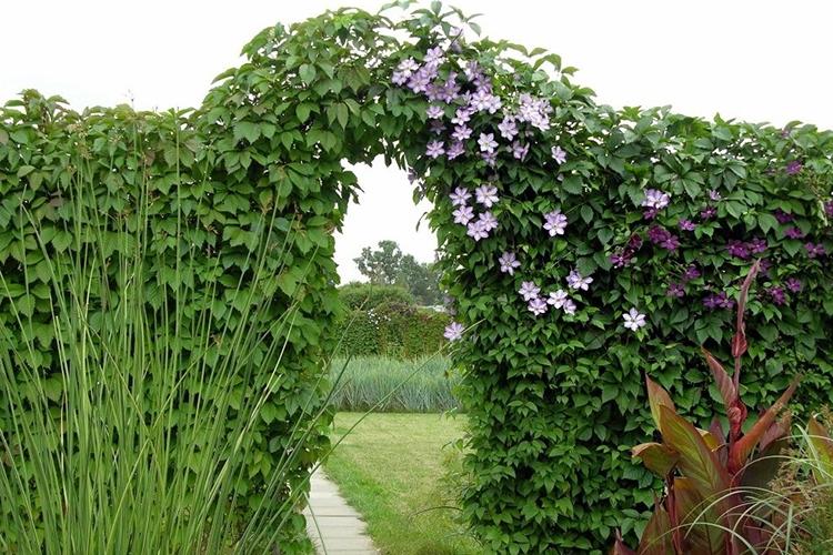 Изгородь из дикого винограда и клематиса