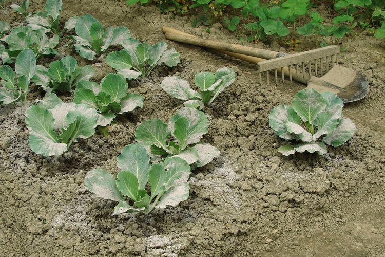 Опудривание капусты